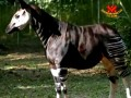 It's a Zebra. It's a Horse. ...No, It's an Okapi!